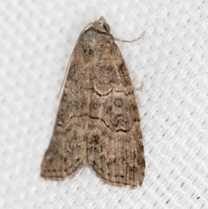 Calathusa sp nr dispila at Melba, ACT - 7 Mar 2021