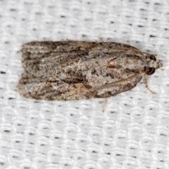 Acropolitis rudisana at Melba, ACT - 7 Mar 2021
