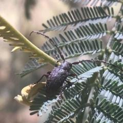 Ancita sp. (genus) (Longicorn or longhorn beetle) at Kosciuszko National Park - 6 Mar 2021 by Ned_Johnston