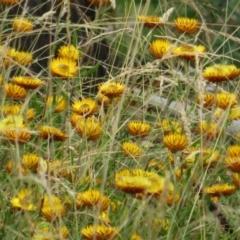 Xerochrysum sp. at Namadgi National Park - 8 Mar 2021 by Christine