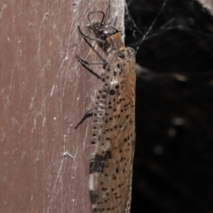 Archichauliodes (Riekochauliodes) guttiferus (Dobsonfly or Fishfly) at ANBG - 3 Mar 2021 by TimL