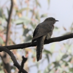 Cacomantis flabelliformis (Fan-tailed Cuckoo) at Cook, ACT - 8 Mar 2021 by Tammy