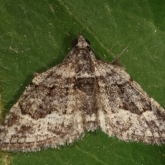 Phrissogonus laticostata (Apple looper moth) at Melba, ACT - 3 Mar 2021 by kasiaaus