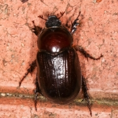 Adoryphorus coulonii (Redheaded pasture cockchafer) at Melba, ACT - 3 Mar 2021 by kasiaaus