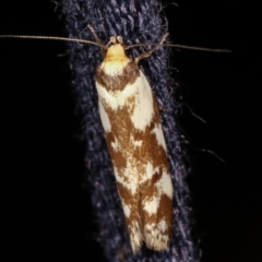 Palimmeces habrophanes (A Concealer moth) at Melba, ACT - 4 Mar 2021 by kasiaaus