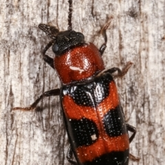 Thallis compta (Fungus beetle) at Melba, ACT - 4 Mar 2021 by kasiaaus