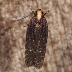 Ardozyga (genus) (TBC) at Melba, ACT - 4 Mar 2021 by kasiaaus