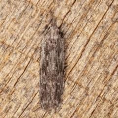 Hypatima (genus) (Genus) at Melba, ACT - 4 Mar 2021 by kasiaaus