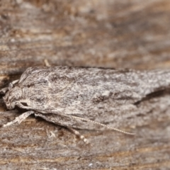 Agriophara platyscia (A Concealer moth) at Melba, ACT - 4 Mar 2021 by kasiaaus