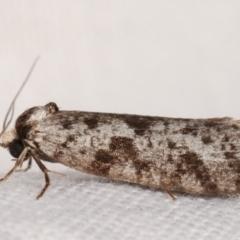 Conoeca guildingi (A case moth) at Melba, ACT - 4 Mar 2021 by kasiaaus