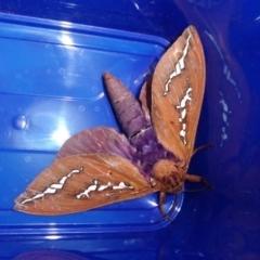 Abantiades hyalinatus (Mustard Ghost Moth) at Rugosa at Yass River - 8 Mar 2021 by SenexRugosus