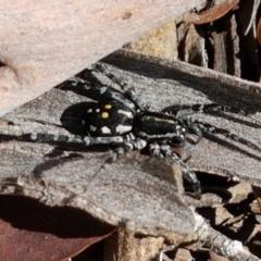 Nyssus albopunctatus (White-spotted swift spider) at Black Mountain - 8 Mar 2021 by tpreston