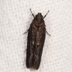 Ardozyga (genus) (Twirler moth, gelechiid moth) at Melba, ACT - 4 Mar 2021 by kasiaaus