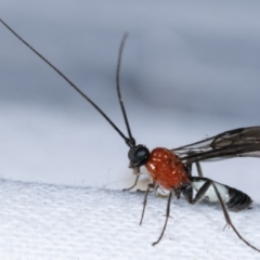 Braconidae sp. (family) (TBC) at Melba, ACT - 4 Mar 2021 by kasiaaus