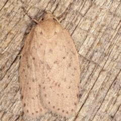 Garrha carnea (A concealer moth) at Melba, ACT - 4 Mar 2021 by kasiaaus