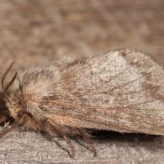 Pernattia pusilla (She-oak Moth) at Melba, ACT - 4 Mar 2021 by kasiaaus