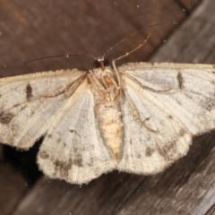 Unplaced externaria (Mahogany Bark Moth) at Melba, ACT - 4 Mar 2021 by kasiaaus