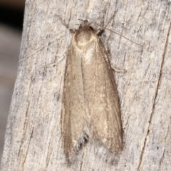 Oecophorinae (subfamily) (Unidentified Oecophorinae concealer moth) at Melba, ACT - 4 Mar 2021 by kasiaaus