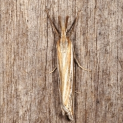 Hednota species near grammellus (Pyralid or snout moth) at Melba, ACT - 4 Mar 2021 by kasiaaus