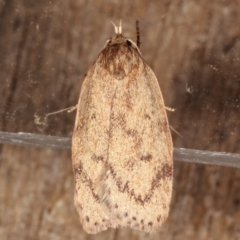 Heliocausta undescribed species (A concealer moth) at Melba, ACT - 4 Mar 2021 by kasiaaus