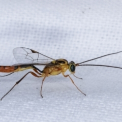 Ichneumonidae sp. (family) (Unidentified ichneumon wasp) at Melba, ACT - 5 Mar 2021 by kasiaaus