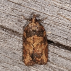 Thrincophora impletana (A Tortricid moth) at Melba, ACT - 5 Mar 2021 by kasiaaus