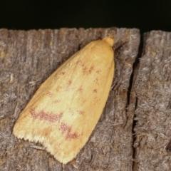 Heteroteucha occidua (A concealer moth) at Melba, ACT - 5 Mar 2021 by kasiaaus