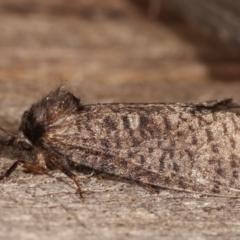 Trigonocytarra clandestina (Less-stick Case Moth) at Melba, ACT - 5 Mar 2021 by kasiaaus