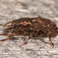 Mandalotus sp. (genus) (Unidentified Mandalotus weevil) at Melba, ACT - 5 Mar 2021 by kasiaaus