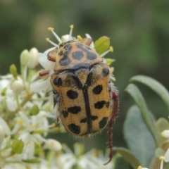 Neorrhina punctata (Spotted Flower Chafer) at Conder, ACT - 2 Jan 2021 by michaelb