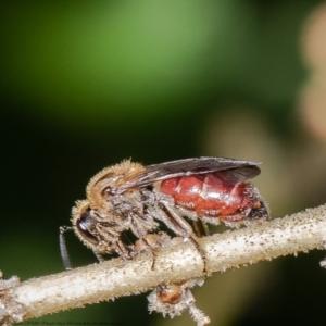 Lasioglossum (Parasphecodes) sp. (genus & subgenus) at ANBG - 9 Mar 2021