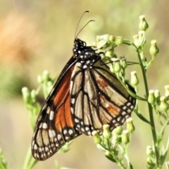 Danaus plexippus (Monarch/Wanderer) at Molonglo River Park - 8 Mar 2021 by JohnBundock