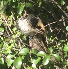 Eudynamys orientalis (Eastern Koel) at Aranda, ACT - 26 Feb 2021 by Jubeyjubes
