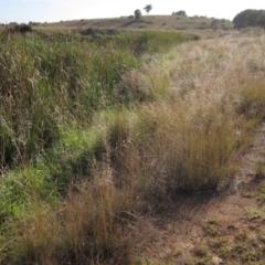 Eragrostis curvula (African Lovegrass) at Dunlop, ACT - 6 Mar 2021 by pinnaCLE