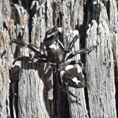 Sandalodes scopifer (White-spotted Sandalodes) at Tuggeranong DC, ACT - 8 Mar 2021 by ChrisHolder