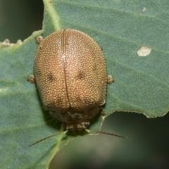 Paropsis atomaria (Eucalyptus leaf beetle) at The Pinnacle - 4 Mar 2021 by AlisonMilton