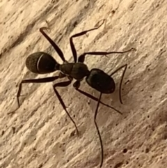 Camponotus nigroaeneus (Sugar ant) at Murrumbateman, NSW - 9 Mar 2021 by SimoneC