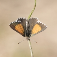 Lucia limbaria (Chequered Copper) at Holt, ACT - 4 Mar 2021 by AlisonMilton