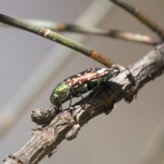 Diphucrania leucosticta (White-flecked acacia jewel beetle) at The Pinnacle - 5 Mar 2021 by AlisonMilton