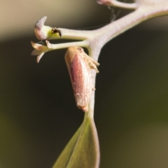 Ipoella sp. (genus) (Leafhopper) at The Pinnacle - 4 Mar 2021 by AlisonMilton