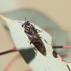 Pergagrapta sp. (genus) (A sawfly) at The Pinnacle - 4 Mar 2021 by AlisonMilton