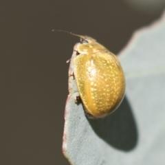 Paropsisterna variicollis (Eucalyptus variegated beetle) at The Pinnacle - 5 Mar 2021 by AlisonMilton