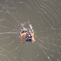 Austracantha minax (Christmas Spider, Jewel Spider) at The Pinnacle - 5 Mar 2021 by AlisonMilton