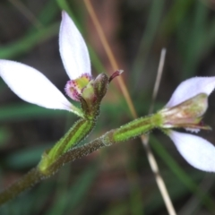 Eriochilus cucullatus (Parson's bands) at Tidbinbilla Nature Reserve - 6 Mar 2021 by Harrisi