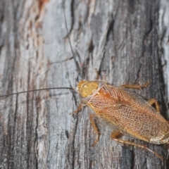 Balta spuria (A Balta Cockroach) at Black Mountain - 7 Mar 2021 by Harrisi