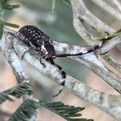 Ancita marginicollis (A longhorn beetle) at Murrumbateman, NSW - 8 Mar 2021 by SimoneC