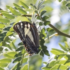 Charaxes sempronius (Tailed Emperor) at Phillip, ACT - 9 Mar 2021 by AlisonMilton