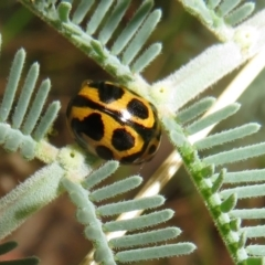 Peltoschema oceanica (Oceanica leaf beetle) at Tidbinbilla Nature Reserve - 7 Mar 2021 by Christine