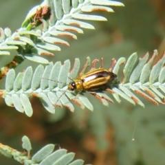 Monolepta froggatti (Leaf beetle) at Tidbinbilla Nature Reserve - 7 Mar 2021 by Christine
