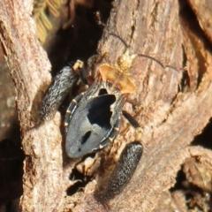 Ptilocnemus lemur (Feathered leg assassin bug) at Tidbinbilla Nature Reserve - 7 Mar 2021 by Christine